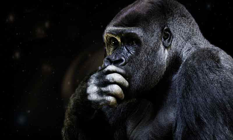 Chimp - Nick at Mensa